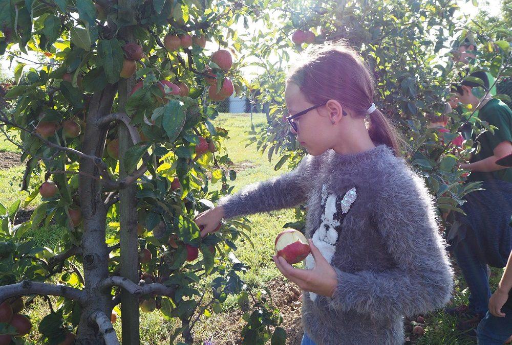 Langenloiser Minigärtner bei der Apfelernte